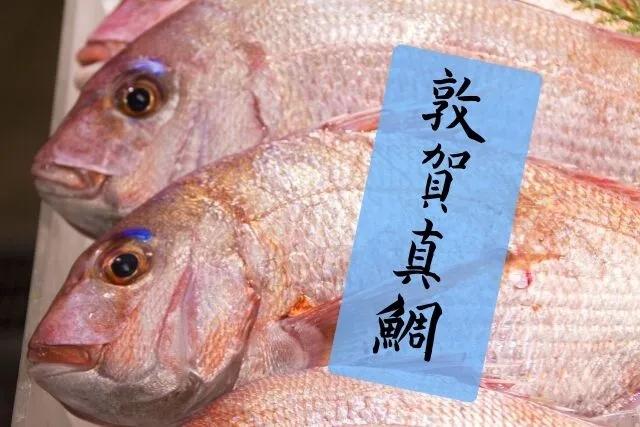 福井县美食 | 福井出生的鱼中之王——敦贺真鯛