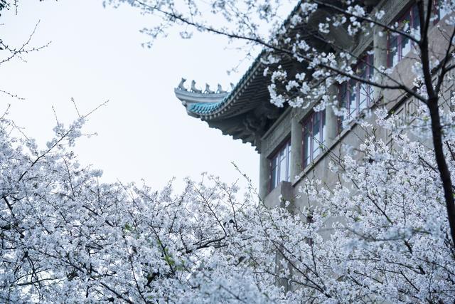 武汉珞珈早樱初绽,日本弘前樱花园何时等你争艳?