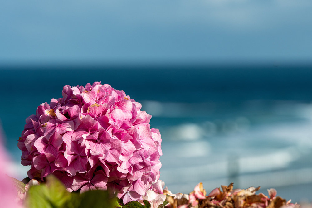 梅雨季,遇见紫阳花!